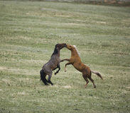 Wild horses fighting Stock Photography