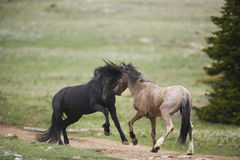 Wild horses fighting Stock Photos