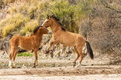 Wild Horses Fighting in the Arizona Desert Royalty Free Stock Photo