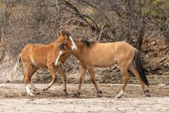 Wild Horses Fighting in the Desert Stock Image