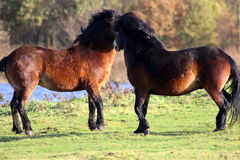 Wild horses fighting Royalty Free Stock Images