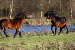 Wild horses fighting Royalty Free Stock Image