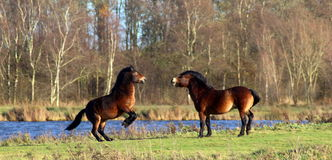 Wild horses fighting Stock Photo