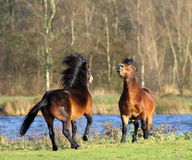 Wild horses fighting Royalty Free Stock Photo