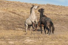 Wild Horses Fighting. A pair of wild horse stallions fighting for dominance in the Utah desert Royalty Free Stock Images