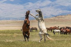 Wild Horses Fighting. A pair of wild horse stallions fighting in the Utah desert stock photos