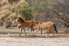 Wild Horses Fighting. A pair of wild horses fighting near the Salt River in the Arizona desert royalty free stock photos