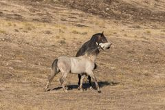 Wild Horses Fighting in the Utah Desert. A pair of wild horse stallions fighting for dominance in the Utah desert Stock Images