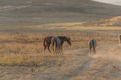 Pair of Wild Horses Fighting. Wild horses fighting in the Utah desert royalty free stock photos