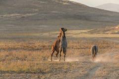Pair of Wild Horses Fighting. Wild horses fighting in the Utah desert royalty free stock photo
