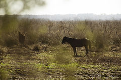 Wild Horses in Florida Stock Photography
