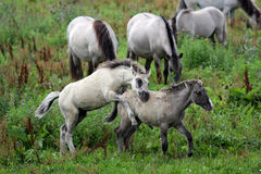 Wild horses foal Royalty Free Stock Photography