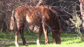Wild Horses Foal stock video footage