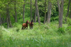 Wild horses in forest. Wild horses in green forest Royalty Free Stock Photography