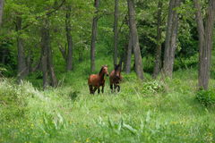 Wild horses in forest. Wild horses in green forest Royalty Free Stock Image