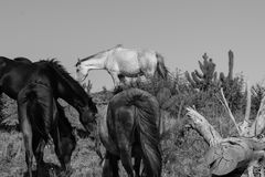 Wild horses in forestry Whalers Road  Ninety Mile Beach, Northla Royalty Free Stock Photo