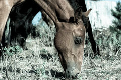 Wild horses in forestry Whalers Road  Ninety Mile Beach, Northla Royalty Free Stock Image