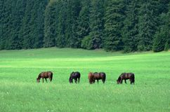 Wild horses. Free horses in national park Stock Photos