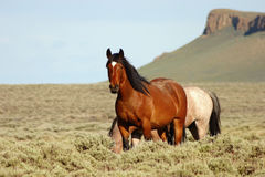 Wild Horses in front of Pilot Butte Royalty Free Stock Images