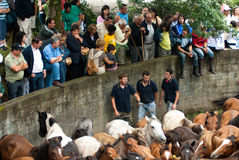Wild horses in Galicia. PONTEVEDRA - AUG 2: Numerous audience watches wild horses in a traditional celebration Haircut the beasts on August 2, 2009 in Pontevedra Stock Photo