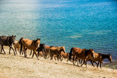 Wild horses are galloping along the lake. Kirghistan royalty free stock photos