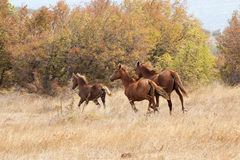 Wild horses galloping. At the field royalty free stock photo