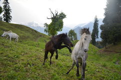 Wild horses galloping in a field Stock Image