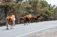 Wild horses gallup along the side of the road in Assateague Island royalty free stock photo
