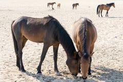 Wild horses in garub desert Stock Image
