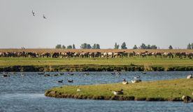 Wild horses and geese at Oostvaardersplassen nature reserve. Oostvaardersplassen is a controversial nature reserve, due to the fact that it is fenced in. Every royalty free stock photo