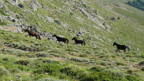 Wild horses - Gennargentu National Park Royalty Free Stock Photography