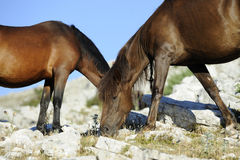 Wild horses graze Stock Photo