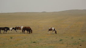 Wild Horses Graze different breeds in the steppe stock video