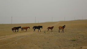 Wild Horses Graze different breeds in the steppe stock footage