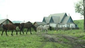 Wild horses graze in a field near the village. stock video footage