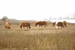 Wild horses graze marsh grasses on Assateague Island, Maryland. Stock Image