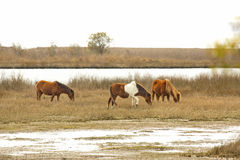 Wild horses graze marsh grasses on Assateague Island, Maryland. Part of a band of wild horses browses on marsh grasses at the edge of Sinepuxent Bay at Royalty Free Stock Photography