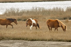 Wild horses graze marsh grasses on Assateague Island, Maryland. Royalty Free Stock Photo