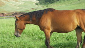 Wild horses graze in a meadow. stock video