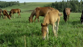 Wild horses graze in a meadow. Horses eat grass, graze, wag their tails, walk. In the frame there are adult horses and stallions. The shooting is from a tripod stock footage