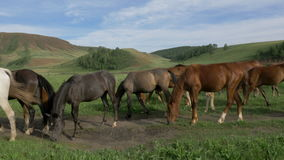 Wild horses graze in a meadow. Horses eat grass, graze, wag their tails, walk. In the frame there are adult horses and stallions. The shooting is from a tripod stock video