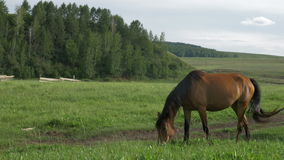 Wild horses graze in a meadow. stock video