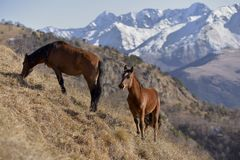 Wild horses graze in the snowy mountains stock photo