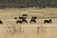 Wild Horses Grazing Royalty Free Stock Images