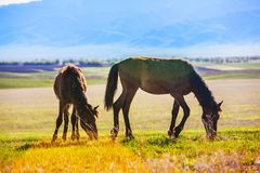 Wild horses are grazing across the steppe Stock Image
