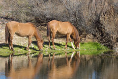Wild Horses Grazing Along River Stock Photo