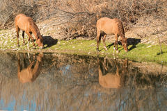 Wild Horses Grazing Along the Salt River Royalty Free Stock Photography