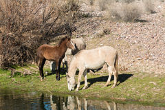 Wild Horses Grazing Along the Salt River Stock Image
