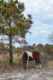 Wild horses grazing - Assateague Island National Seashore royalty free stock photography
