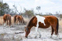 Wild horses grazing - Assateague Island National Seashore royalty free stock photos
